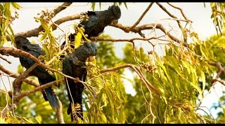 Red Tailed Black Cockatoos in the Wild in Australia 4K