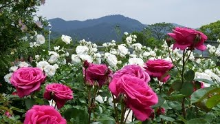 The Rose Garden Of Kayoichou Park, Japan - 4K Garden Rose Extravaganza