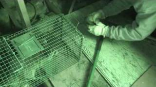 Removing Raccoons from Attic!