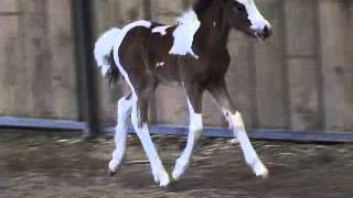GYPSY COB/GYPSY VANNER FILLY 2013 FOR SALE from Flying W Farms