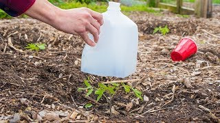 5 Biggest Mistakes When Growing Seedlings and Transplanting into the Garden