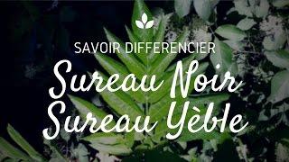STOP INTOX : Sureau noir vs sureau yèble