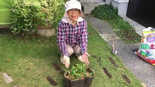 挿し木したアジサイの植え替え