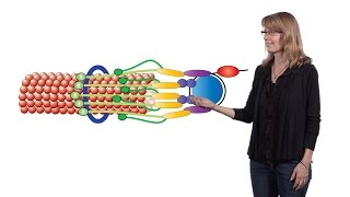 Gambar cover Sue Biggins (Fred Hutchinson Cancer Research Center, HHMI) 2: Investigating Kinetochore Function