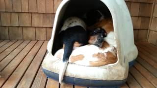 Угадайте, сколько собак спит в этой будке?