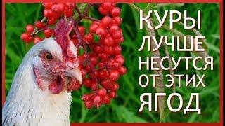 10 СОВЕТОВ ЧТОБЫ КУРЫ неслись ЗИМОЙ КАК ЛЕТОМ. #3. Какие ягоды нужны курам, чтобы хорошо нестись?