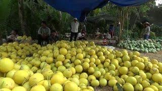 Tin Tức 24h: Nhiều loại trái cây bị rớt ở đồng bằng sông Cửu Long
