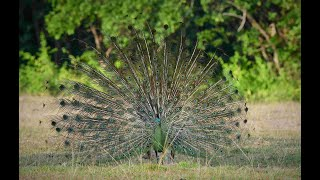Green Peacocks / Pavo muticus muticus
