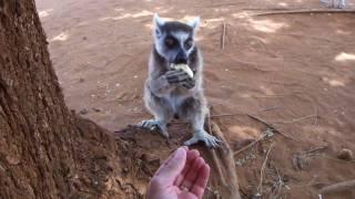 preview picture of video 'Berenty 2010 - Notre copain lémurien - Part.1 - Madagascar'