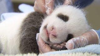 Saving Giant Pandas