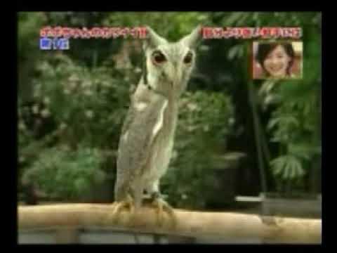 貓頭鷹被嚇到的反應(搞笑)
