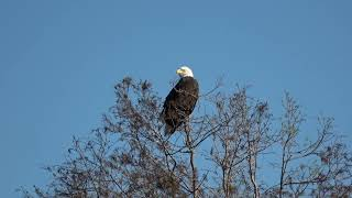 Bald Eagles are dying in the southeast