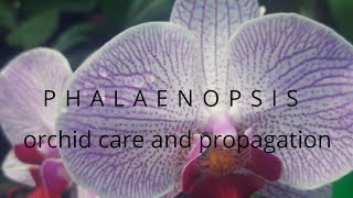 ALL ABOUT PHALAENOSIS ORCHID