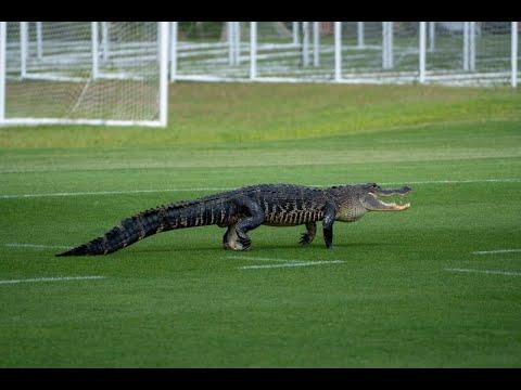 تمساح يقتحم تدريبات تورنتو الكندي