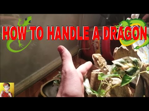 How To Properly Handle a Bearded Dragon *SIMPLE* [TUTORIAL]