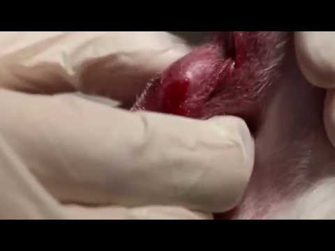 A 9-year-old has left anal sacculitis Pt 2