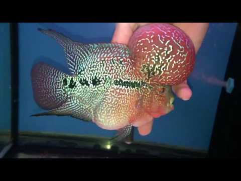 Mega KOK masterpiece 24k pearl Super Red Dragon flowerhorn cichlid for sale - www.thaiFH.com
