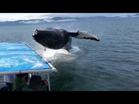 Humpback Whale Breaches Next To Boat