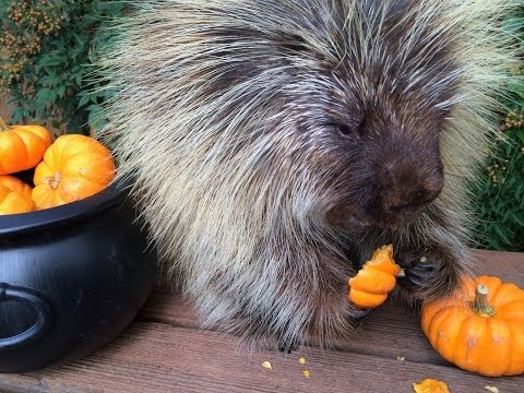Teddy Bear the Porcupine's Halloween Feast