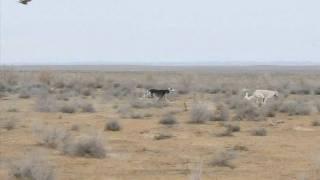 preview picture of video 'Part 1 Coursing winter - 2009 - الجزء الأول من المقناص الشتوي'