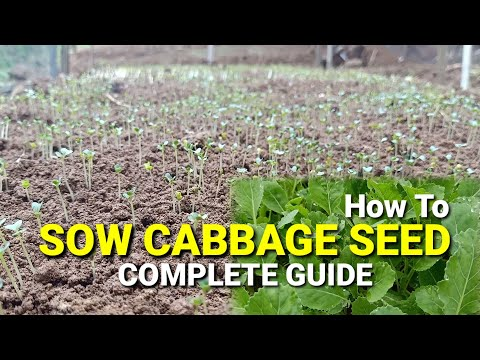 , title : 'Hybrid Cabbage Seed Sowing Process