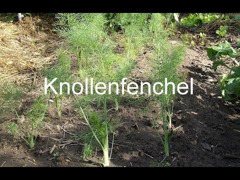 Herbstkulturen: Mai- und Herbstrüben, Rote Beete, Knoblauch, Knollenfenchel Anbau, usw.