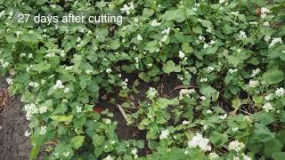 Buckwheat Cover Crop