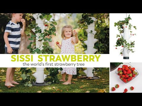 SISSI STRAWBERRY - The world's first strawberry tree