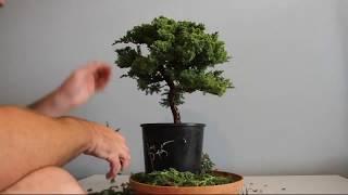 Juniper Bonsai Time Lapse