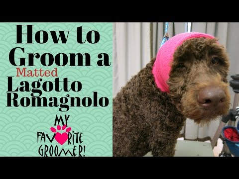Grooming a matted Lagotto Romagnolo