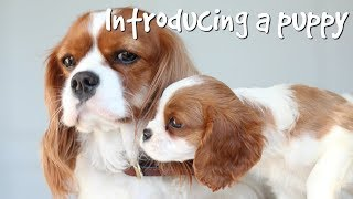 HOW TO INTRODUCE A PUPPY TO YOUR DOG | What it's like having two dogs