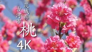 【絶景茨城】桃 【4K】 茨城県古河市|VISIT IBARAKI, JAPAN