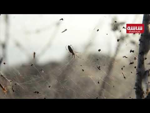 شباك العناكب الضخمة تغطي ضفاف بحيرة في اليونان
