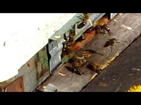 Одуванчики на пасеке. Beekeeping.