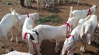 Latest rates of Kamori, Gulabi, Pateri Goats | Hyderabad