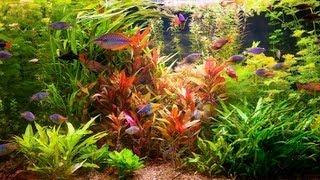 How to Remove Red Algae from Fish Tank   Aquarium Care