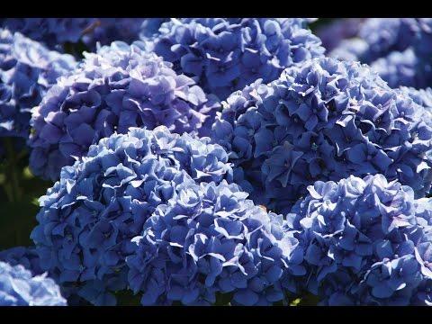 Цветы по оттенкам радуги. Растения синего и голубого цвета