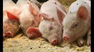 Мини свинарник по новым технологиям /  how to breed a pig