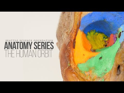 Anatomy Series - The Human Orbit