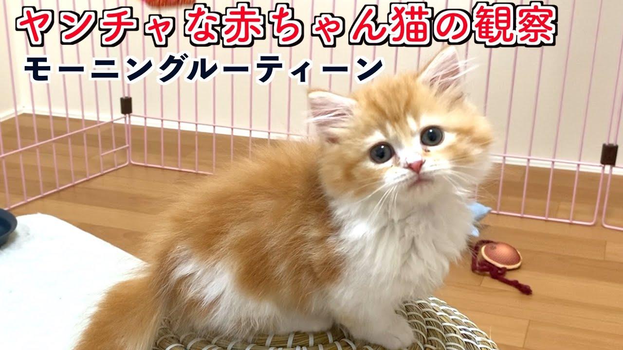 生後2ケ月の子猫の朝を観察したら可愛すぎた[モーニングルーティン]Baby cat morning routine(マンチカン)