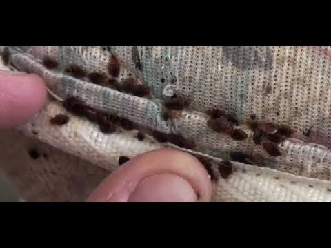 How To Find Bed Bugs - How To Know If You Have Bed Bugs