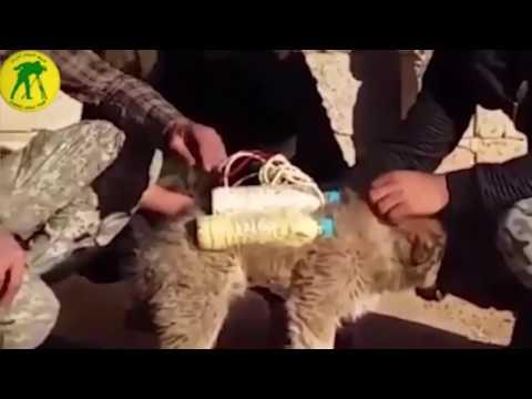 Terroristas de ISIS colocan correa con explosivos a perro para cometer atentados