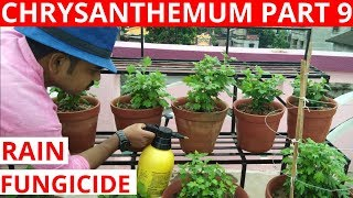 Chrysanthemum Series 2018-19, Part 9