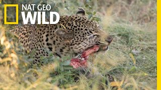 Leopard Playing With Its Food: Rare Video   Nat Geo Wild