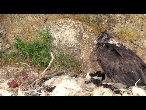 VIDEO. Deux gypaètes barbus introduits en Corse pour sauver l'espèce
