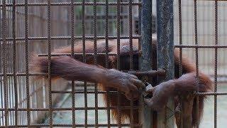 Tiger Temple tigers: RIP Sangtawan & Farkram Jr
