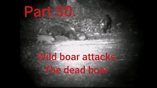 Part 50. Wild boar hunting, wild boar attacks the dead one
