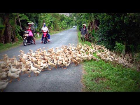 Бесконечный поток гусей остановил движение на дороге во Вьетнаме