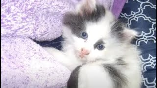 Cute KITTEN Rejected at Birth by Mother (Feline Multiple Sclerosis Cat demyelinating euthanize)