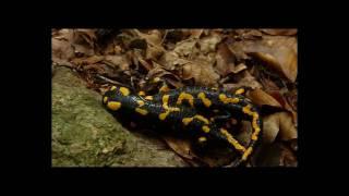 preview picture of video 'Salamandra salamandra'